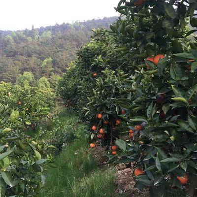 这是一张关于塔罗科血橙 55 - 60mm 4-8两 的产品图片