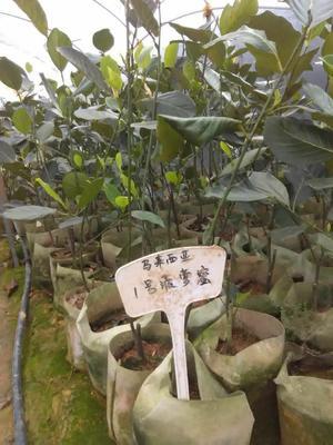 广西壮族自治区钦州市灵山县1号菠萝蜜树苗