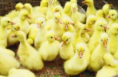 这是一张关于白鹅苗 的产品图片