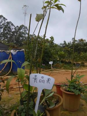 广西壮族自治区钦州市灵山县黄晶果苗