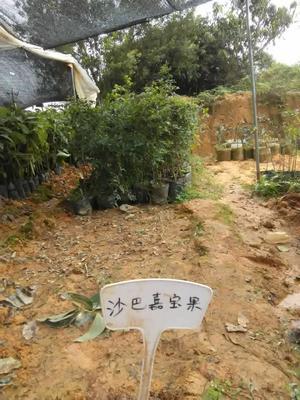 广西壮族自治区钦州市灵山县树葡萄苗  沙巴嘉宝果树苗