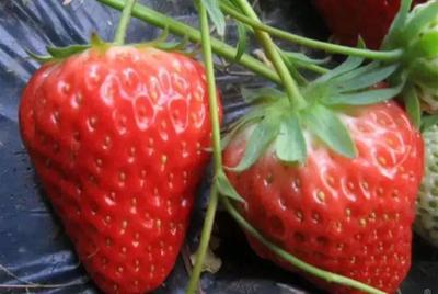 山东省临沂市平邑县红颜草莓苗 10~20公分 地栽苗