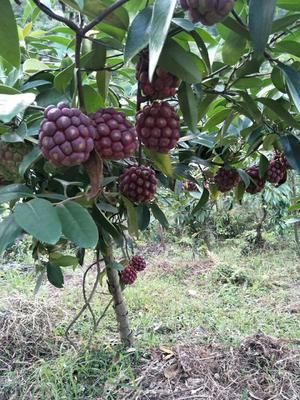 广东省韶关市始兴县粉红一号  黑老虎改良种苗,布福娜水果苗。