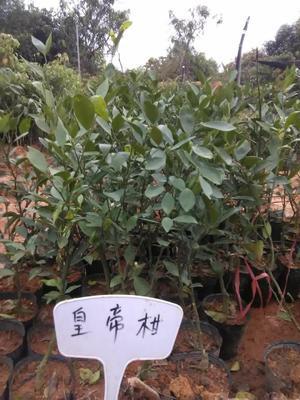 广西壮族自治区钦州市灵山县皇帝柑苗 嫁接苗 0.35~0.5米