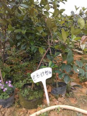 广西壮族自治区钦州市灵山县巴西甜樱桃苗
