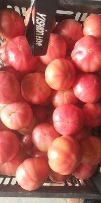 河南省南阳市方城县硬粉番茄 通货 弧二以上 大红
