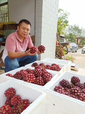 广东省韶关市始兴县粉红一号  布福娜水果苗,黑老虎果树苗。