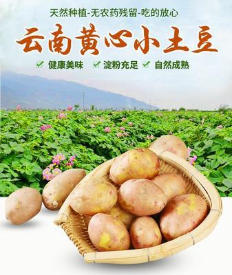 这是一张关于荷兰15号土豆 1两以上 的产品图片