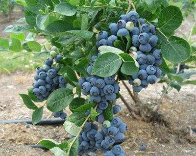 广西壮族自治区钦州市灵山县兔眼蓝莓苗