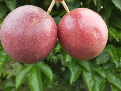 越南百香果五斤装30个左右特大 一件代发。