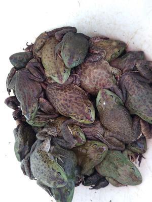 湖南省长沙市雨花区牛蛙最新产地行情趋势|产