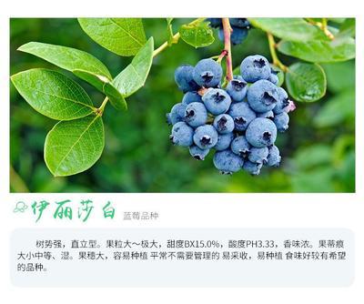 伊丽莎白蓝莓苗 蓝莓苗南方北种植4年苗当年结果