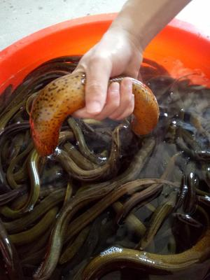 优质野生黄鳝(包邮价,推出分规格价位)