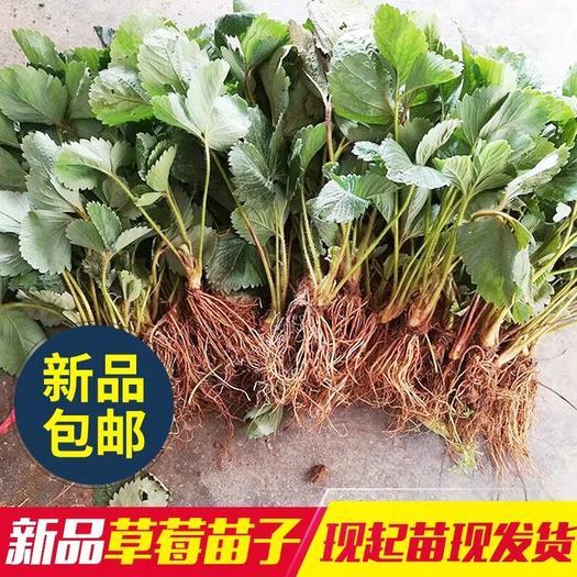 黑巴克草莓苗  20~30公分 地栽苗 100颗包邮发货  包装精美