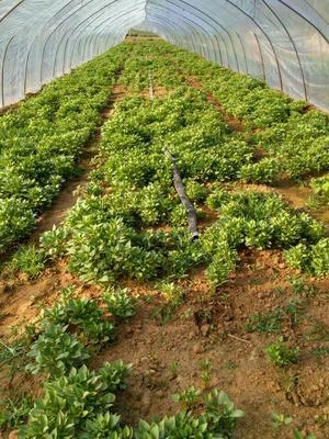 西瓜红红薯苗 吴氏薯苗苗大量供应,几十个品种