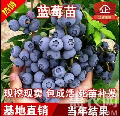 喜来蓝莓苗 保证品种 带土带果发货 包邮【热荐】