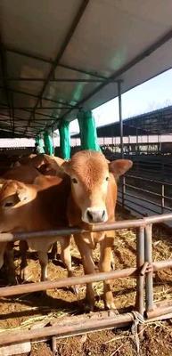 黄牛 200-300斤 统货