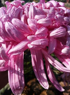 秋菊 我们卖的有观赏菊花,和金丝皇菊