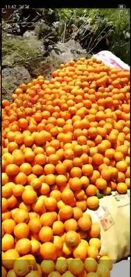 夏橙 55mm以下 4两以下