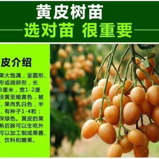 鸡心黄皮苗 带土带叶发货当年结果