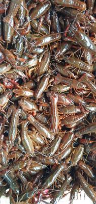 监利小龙虾  2-4钱 稻田虾 青壳虾,底板净肉质好,产地直供