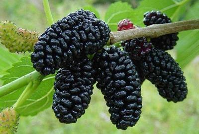四季大果桑苗 可盆栽或地栽,当年种植当年或次结果,果大味甜食用防白发早生。