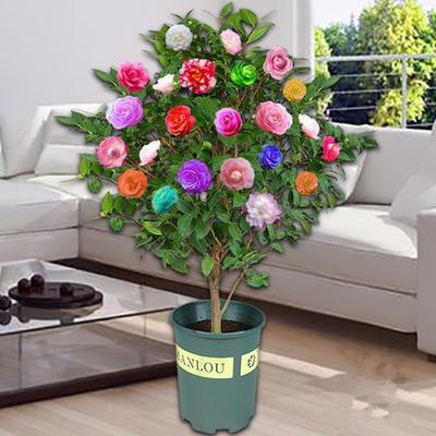 10色赤焰茶花苗,花开10种花