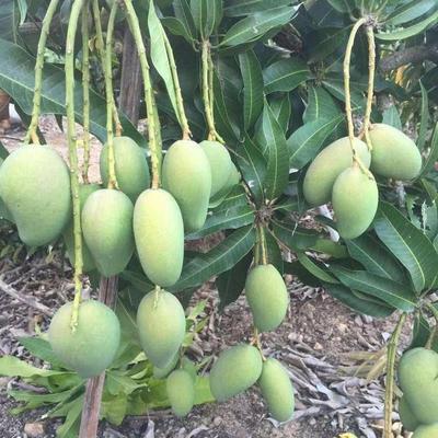 台农一号芒果苗 可盆栽可地栽,当年种植当年或次年结果。热带氷果之王。