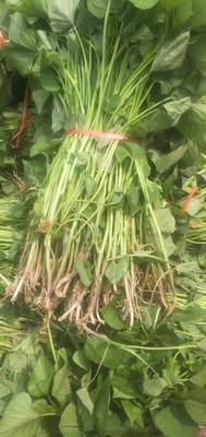 济薯26号红薯苗 15~25cm