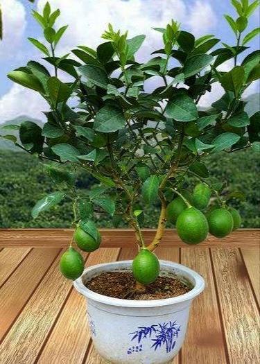 台湾无核青柠苗 种植当年或次年结果,食用美容养颜祛斑延缓衰老。