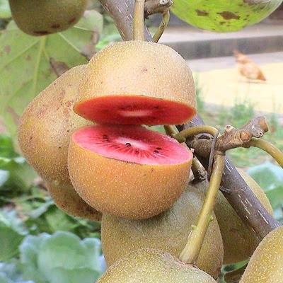 红心猕猴桃苗  嫁接苗 南北方可种植 免费提供种植技术