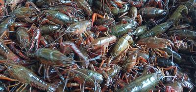 监利小龙虾 青壳虾,底板净肉质好,产地直供
