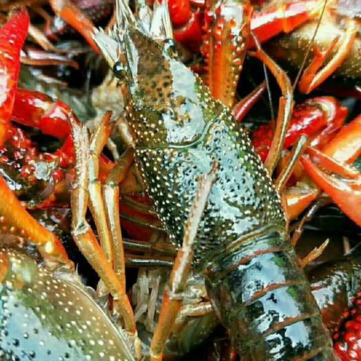 红壳小龙虾 监利清水湖虾,中红456底板干净,产地直供!今日特价!