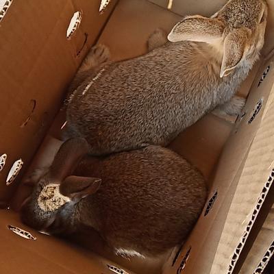 比利时杂交野兔重量一斤左右20只+ 每只24.88元