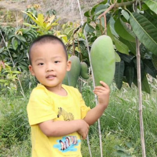 金煌芒果苗 果重达4斤一个、生吃不酸的芒果