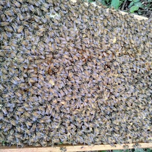 蜜蜂土蜜蜂,精选红环王蜂种,特点产蛋多繁殖快,可养大群采蜜多