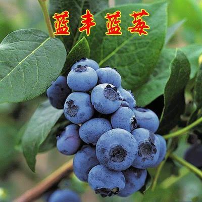 蓝丰蓝莓苗 蓝丰蓝莓  带花发货  当年挂果  带土发货  保湿包邮