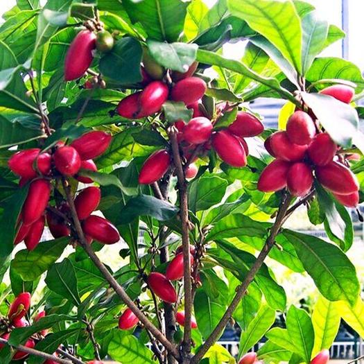 神秘果苗 神秘果树苗四季开花次年结果变味果盆栽果树带叶带花带果包邮包活