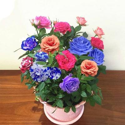 大花玫瑰花苗盆栽室内绿植花卉四季开花植物蔷薇月季花苗