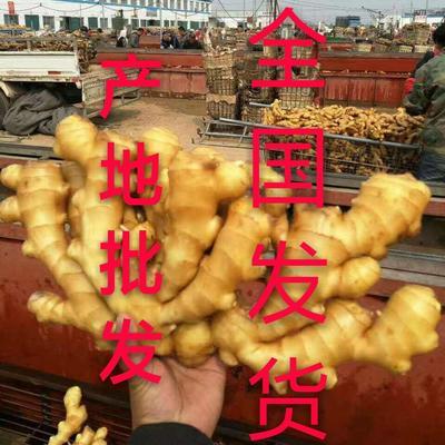 常年供应大黄姜,小黄姜,姜种产地直销(全国发货提供种植技术。