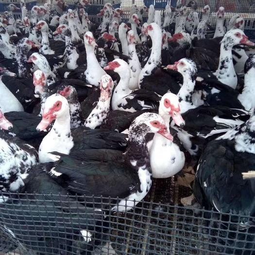 番鸭苗 大种黑番鸭优选优质靓苗发货,疫苗包打。运输包活,