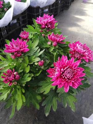 盆栽荷兰菊纽扣菊,球菊,乒乓菊