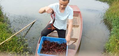 监利小龙虾 青壳虾,234钱底板净肉质好,产地直供