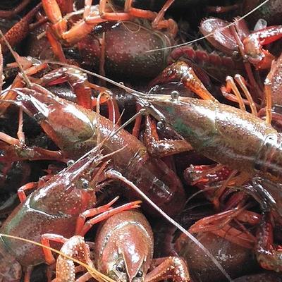 兴化小龙虾4.2-6.2青虾硬规格江苏货红虾清水小龙虾