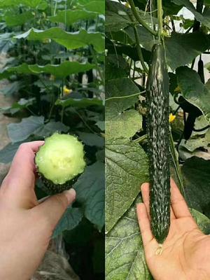 耐热 黑油亮  强雌密刺耐热黄瓜种子