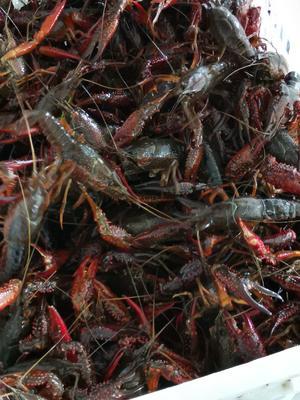 6789洪湖清水小龙虾。