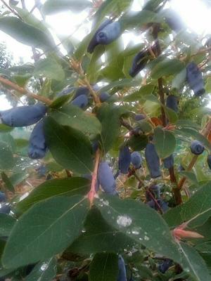 蓝靛果苗 蓝靛果北方优质正规苗木