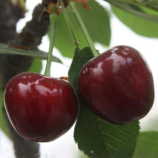 俄罗斯八号樱桃苗嫁接车厘子树苗耐寒品种果树苗木