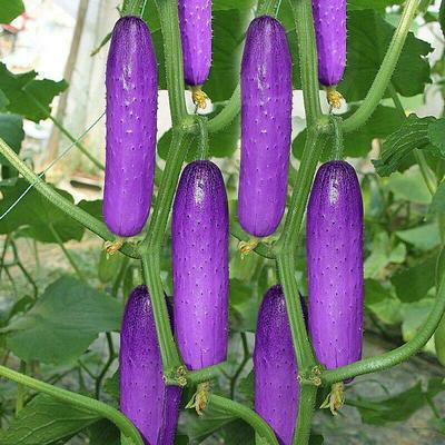 彩色黄瓜种子红黄天蓝紫色绿色水果黄瓜种子100粒装包邮