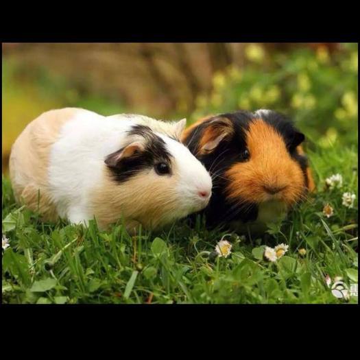 荷兰猪 一手货源 断奶种苗    三 母一公   4-半斤 接受预定